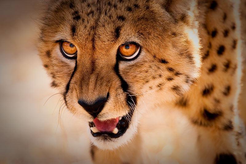 Cheetah Growl